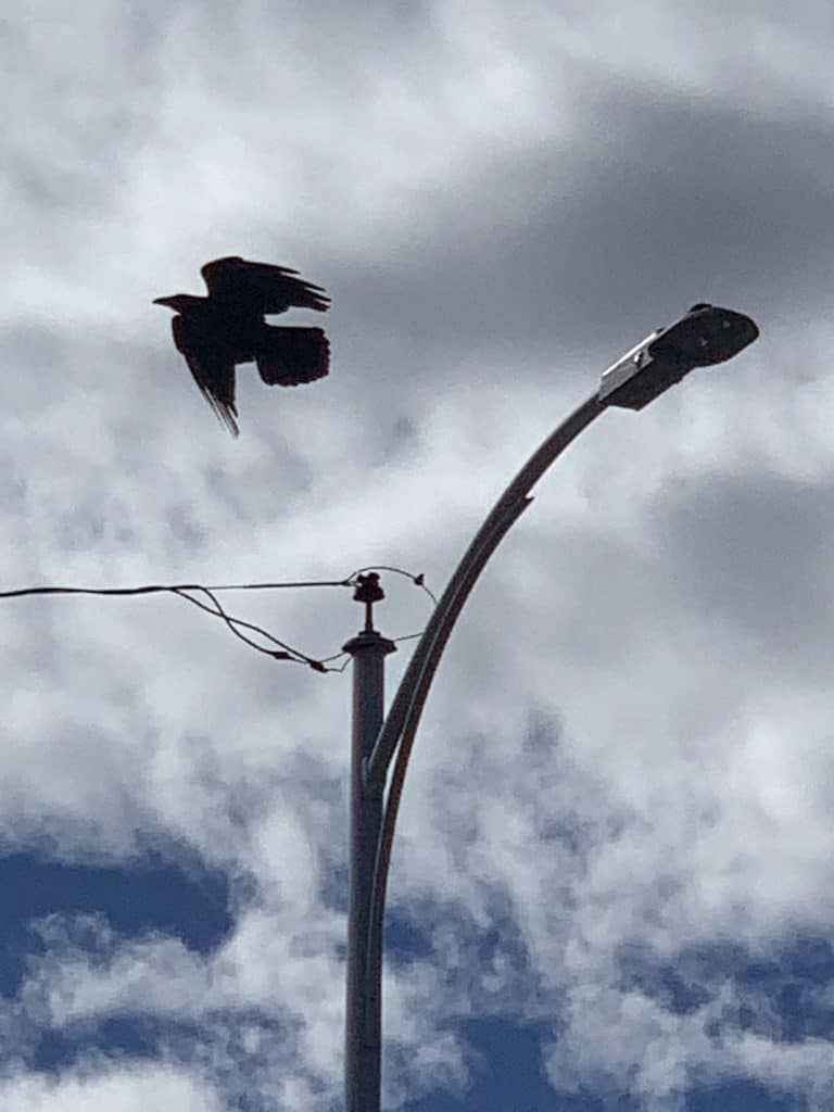 Photograph of raven and light pole