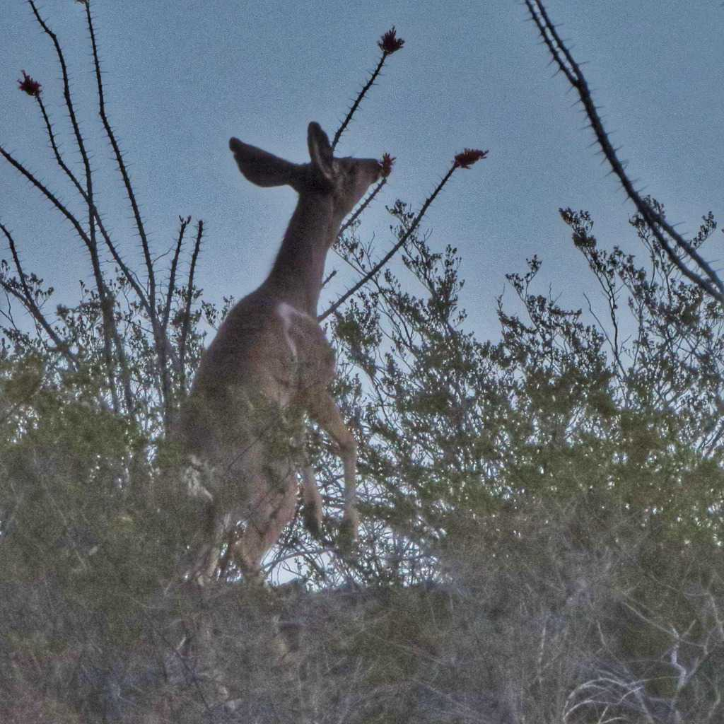 mule deer reaching for octillo blossoms