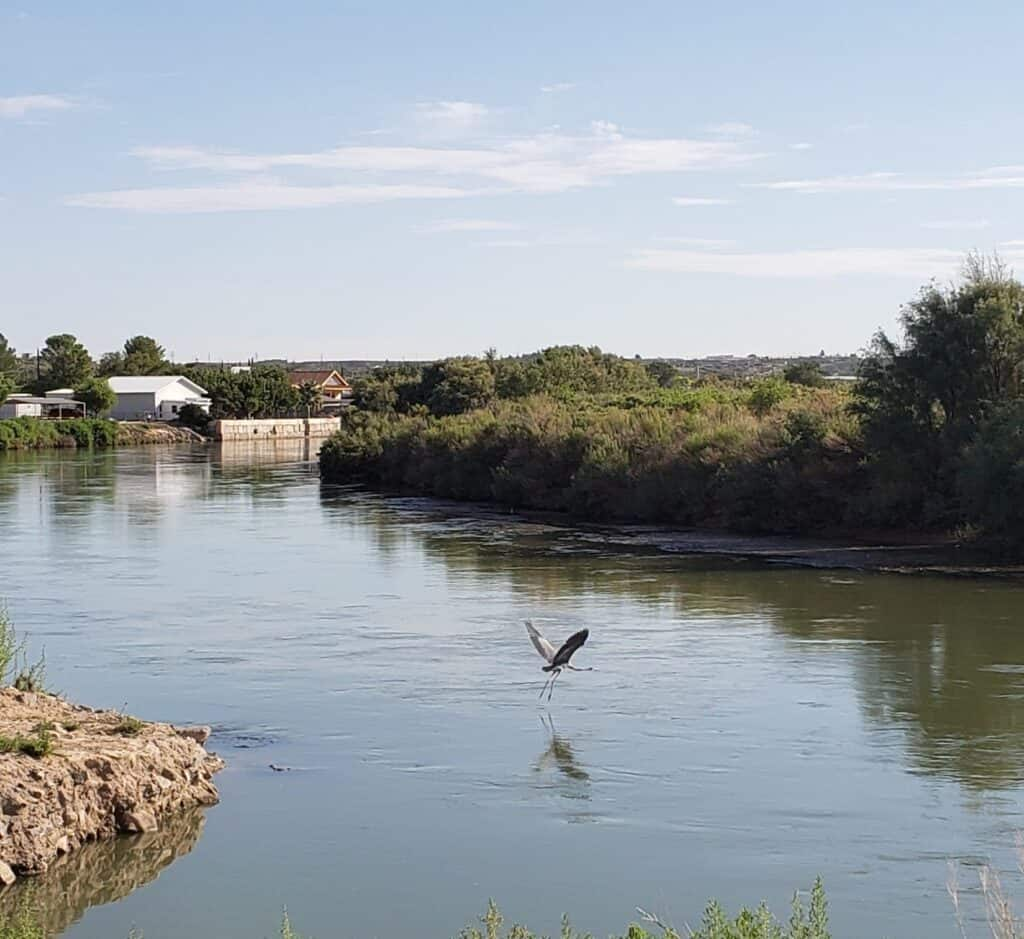Great blue heron crosses the Rio Grande adjacent to Rotary Park